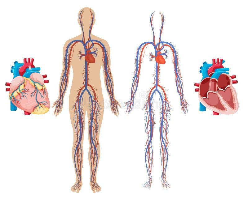 Menschliches Herz und Herz-Kreislauf-System lizenzfreie abbildung