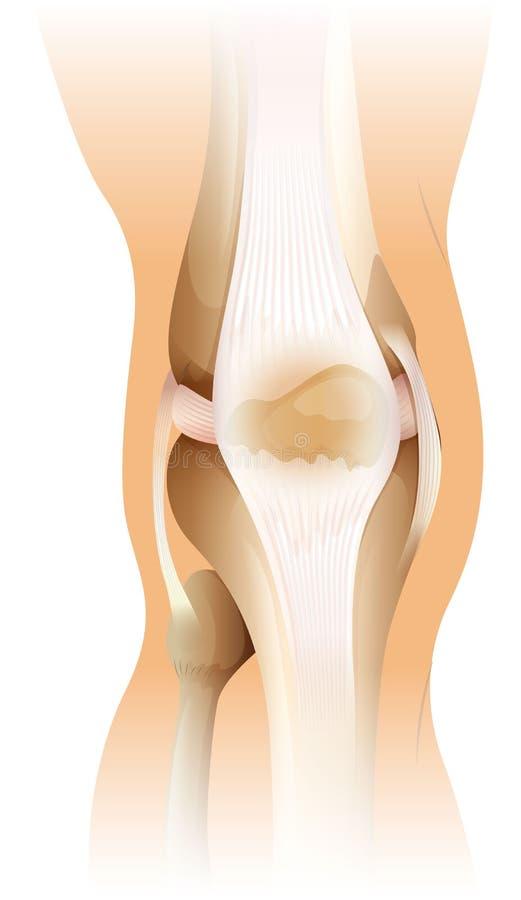 Menschliches Knie vektor abbildung