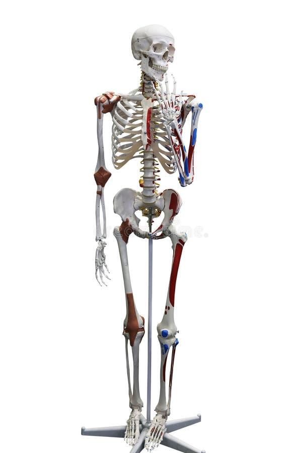 Menschliches Medizinisches Skelett Stockfoto - Bild von knochen ...