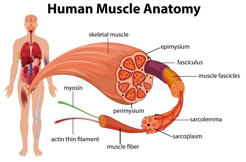 Menschliches Muskel-Anatomie-Diagramm stock abbildung