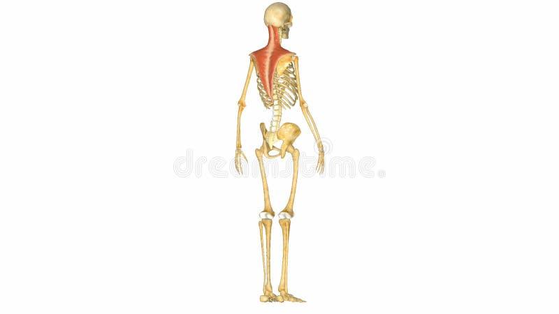 Menschliches Muskel-Skelett-System Stock Footage - Video von hand ...