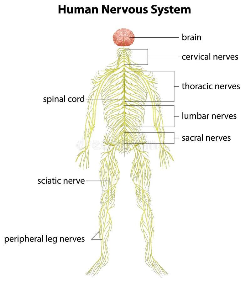 Menschliches Nervensystem vektor abbildung. Illustration von neuron ...