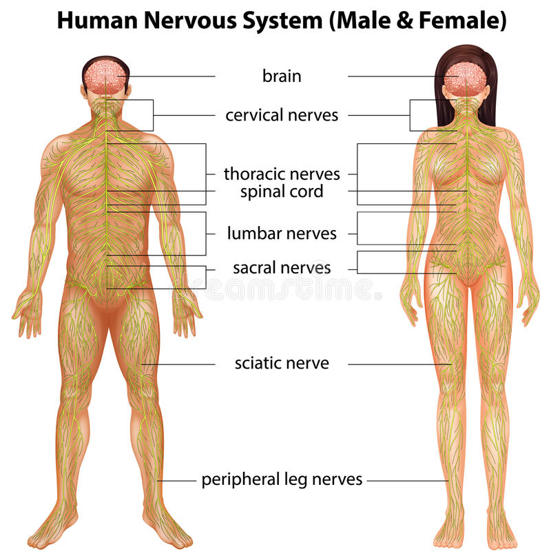 Menschliches Nervensystem vektor abbildung. Illustration von normal ...