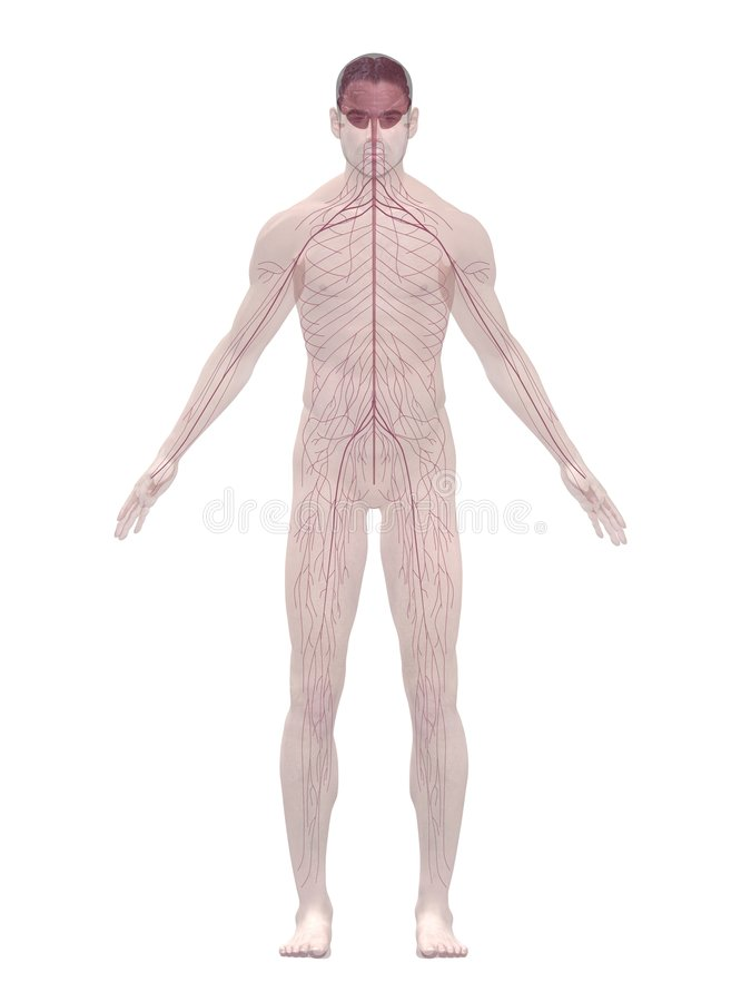 Menschliches Nervensystem stock abbildung. Illustration von ...