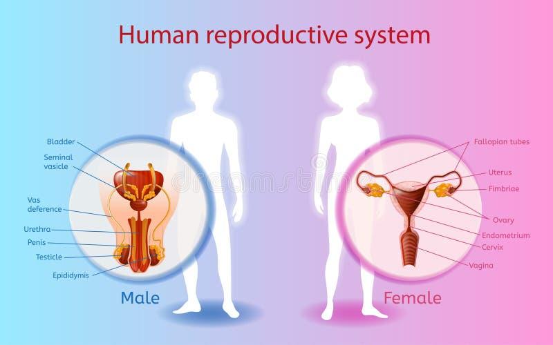 Menschliches Reproduktionssystem-Vektor-wissenschaftliches Diagramm vektor abbildung