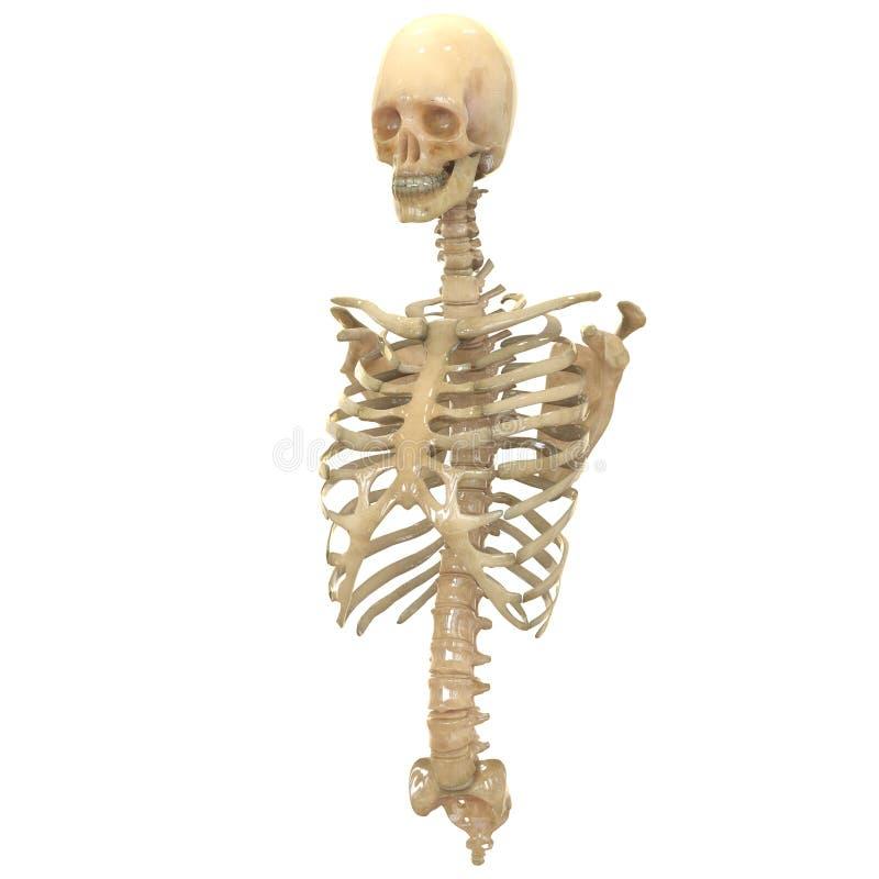 Großartig Anatomie Langen Knochen Ideen - Menschliche Anatomie ...