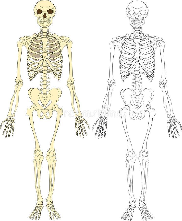 Berühmt Markiertes Menschliches Skelett Ideen - Menschliche Anatomie ...