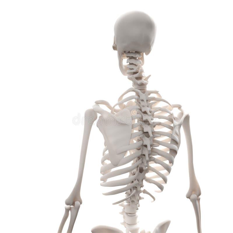 Ausgezeichnet Bilder Von Menschlichem Skelett Für Kinder Bilder ...