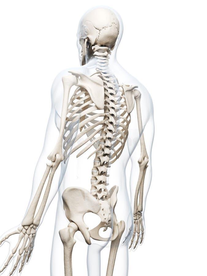 Menschliches Skelett stock abbildung. Illustration von knochen ...