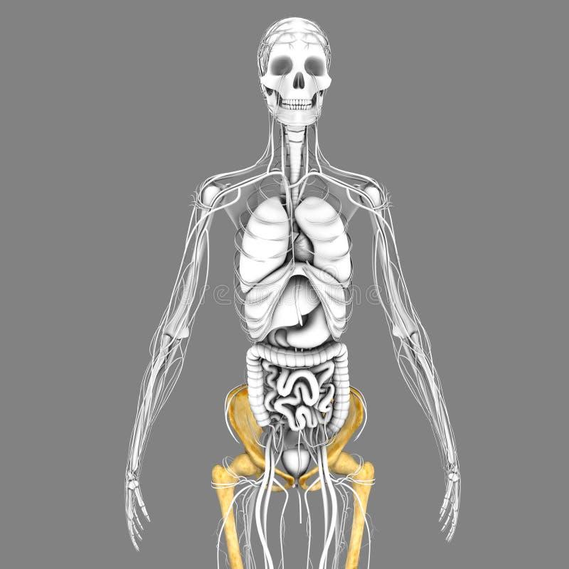 Funky Menschliches Skelett Kennzeichnung Arbeitsblatt Gift ...