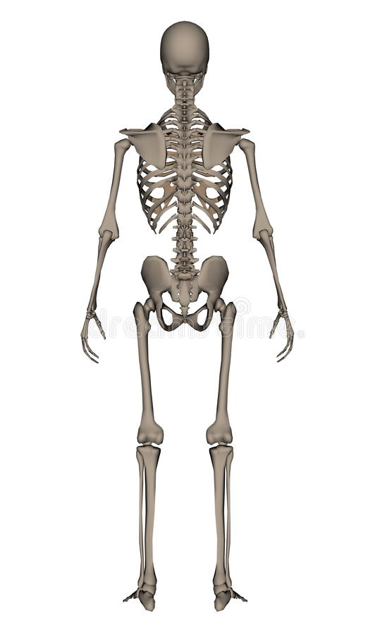 Fein Echte Menschliche Skelett Bilder Bilder - Anatomie Ideen ...