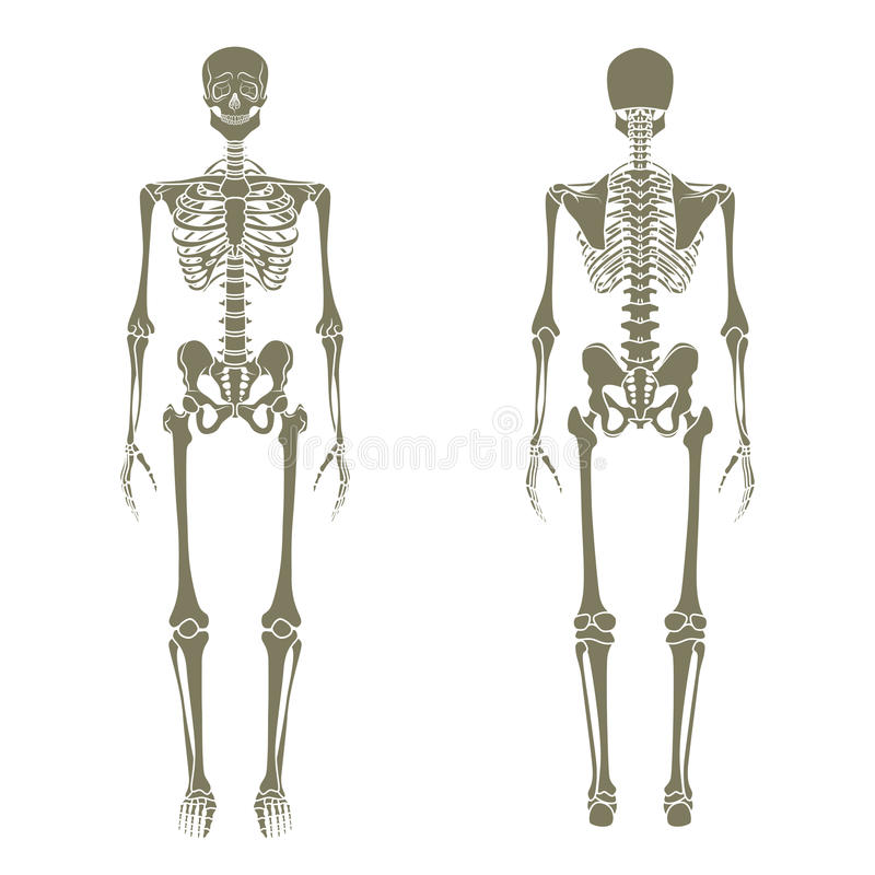 Menschliches Skelett Didaktisches Brett Von Anatomie Des ...