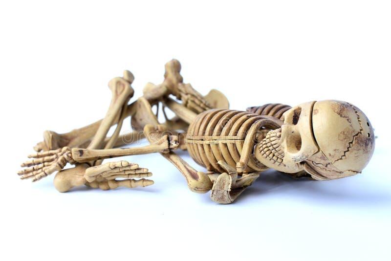 Menschliches Skelett getrennt auf weißem Hintergrund lizenzfreie stockbilder