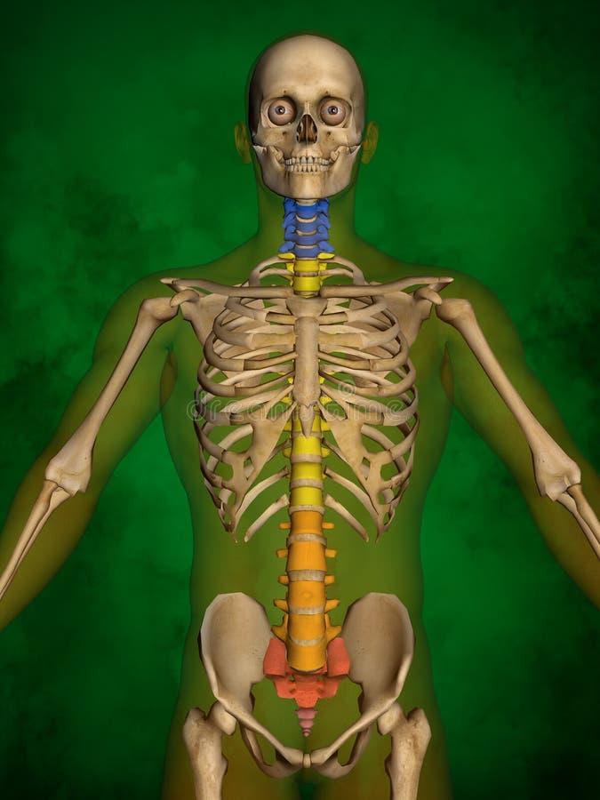 Menschliches Skelett M-SK-POSE Bb-56-1, Wirbelsäule, Modell 3D Stock ...