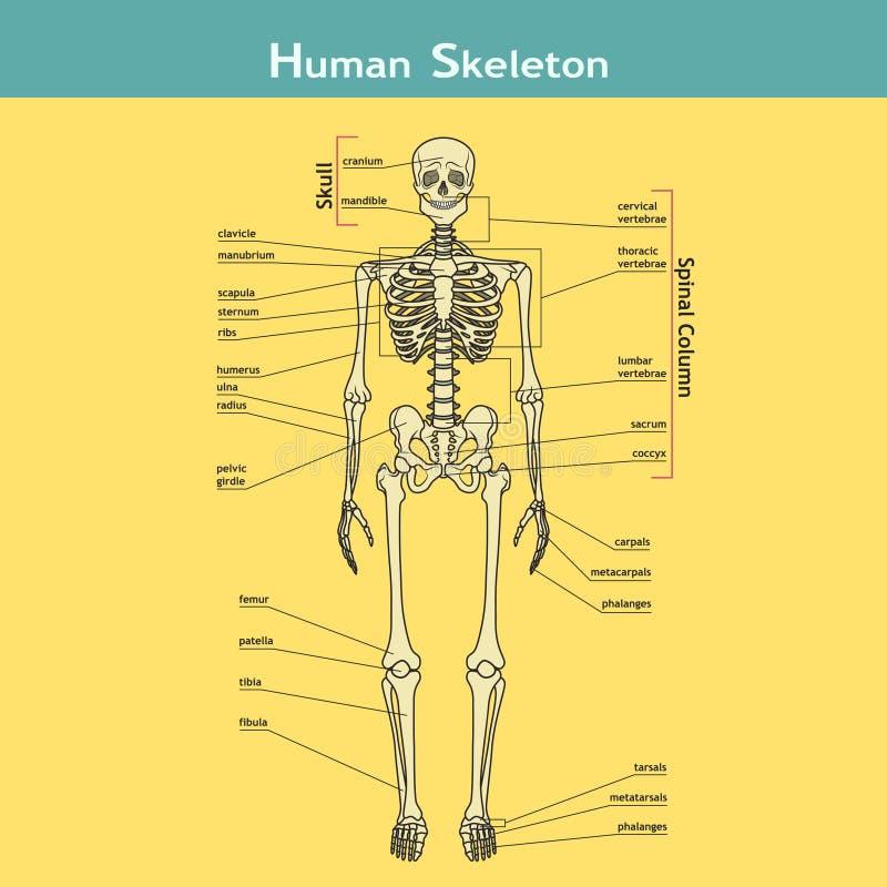 Fantastisch Skelett System Diagramm Arbeitsblatt Zeitgenössisch ...