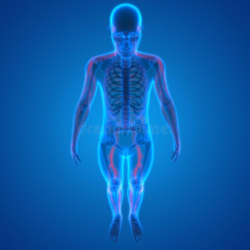 Großartig Skelett Nervensystem Bilder - Menschliche Anatomie Bilder ...