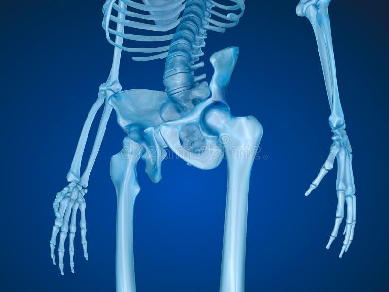 Menschliches Skelett: Pelvis Und Sacrum Stock Abbildung ...