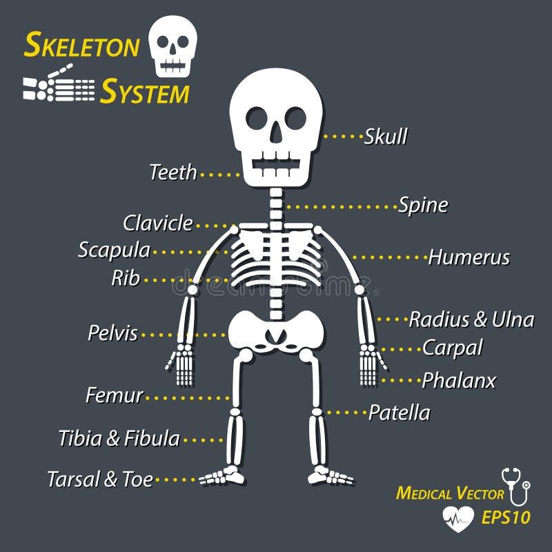 Ungewöhnlich Skelett Mit Markiertem Knochen Zeitgenössisch ...