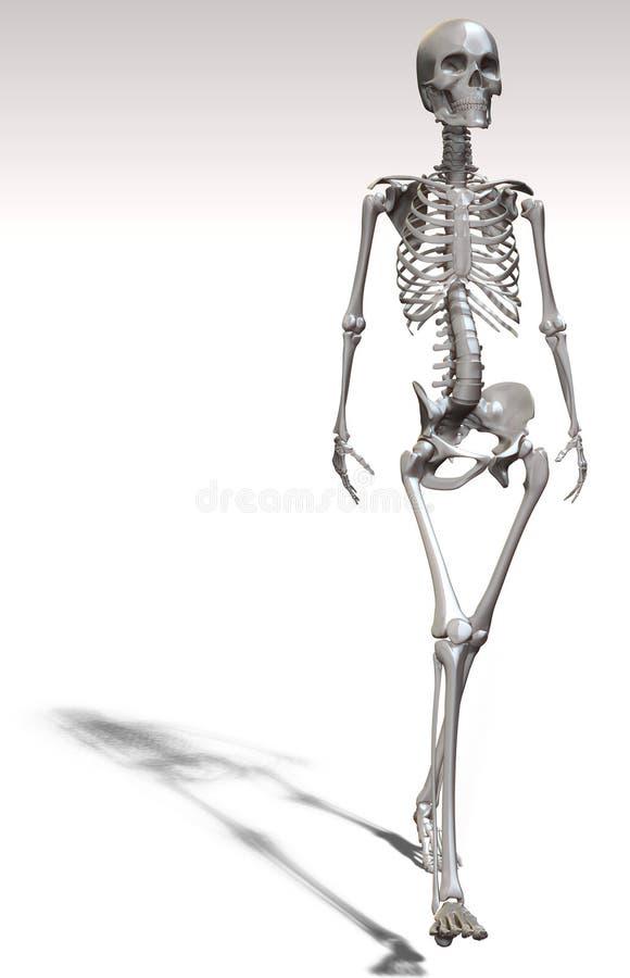 Menschliches Skelett Und Knochen Stock Abbildung - Illustration von ...