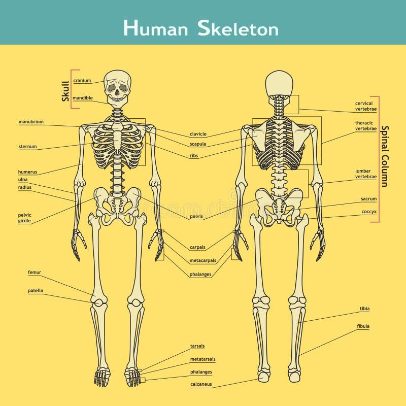 Menschliches Skelett, Vorder- Und Rückseite Ansicht Mit Erklärungen ...