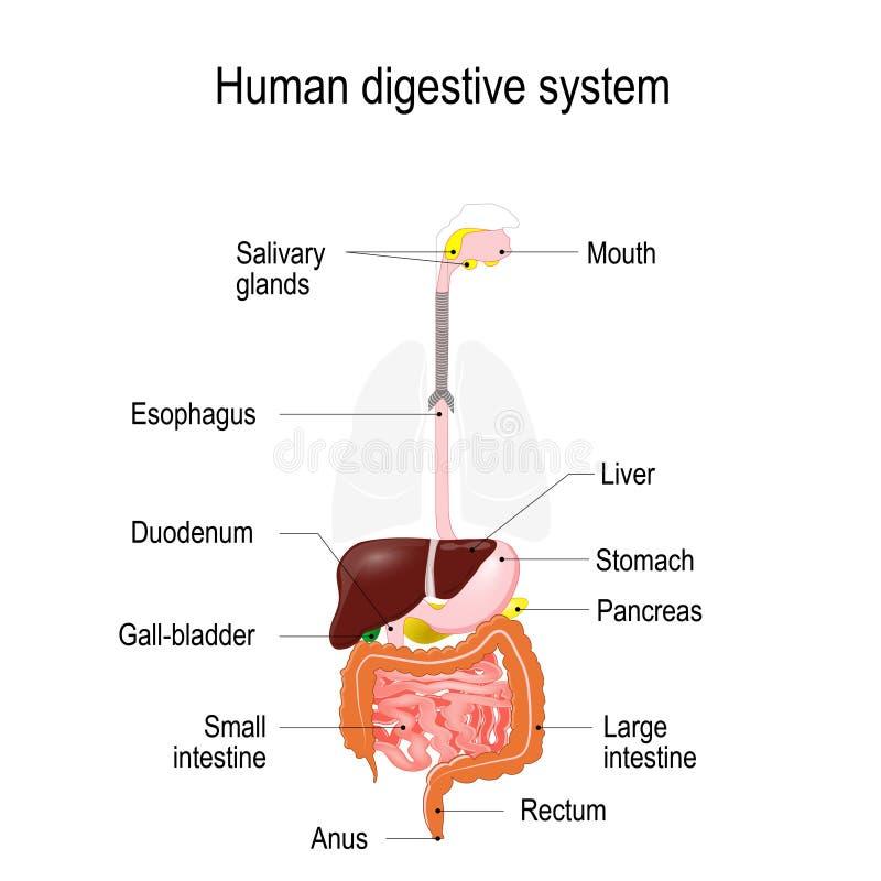 Menschliches Verdauungssystem Vektor Abbildung - Illustration von ...