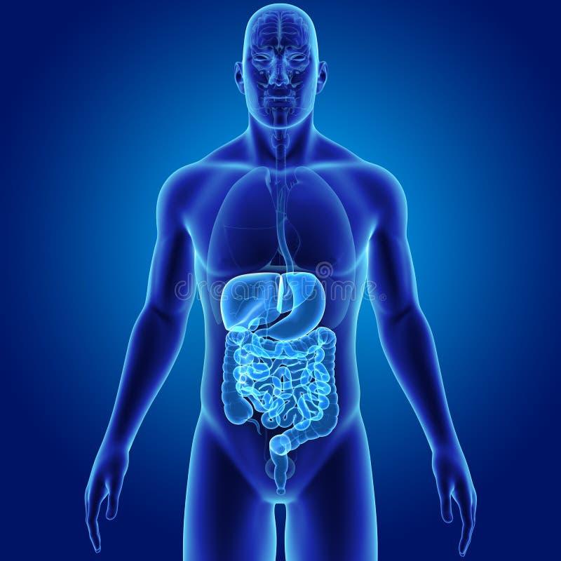 Ausgezeichnet Menschliche Verdauungssystem Markierte Diagramm ...