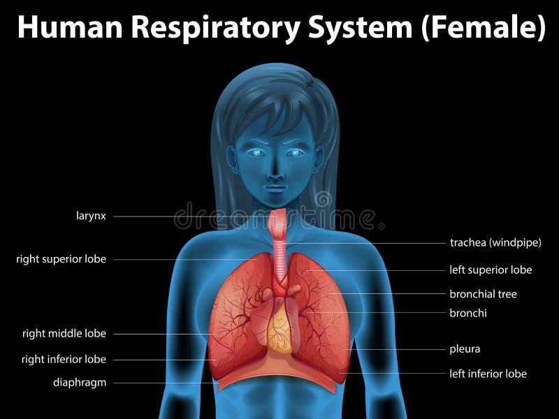 Menselijk ademhalingssysteem stock illustratie