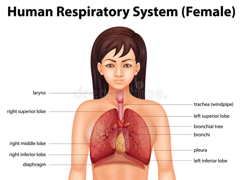 Menselijk ademhalingssysteem royalty-vrije illustratie