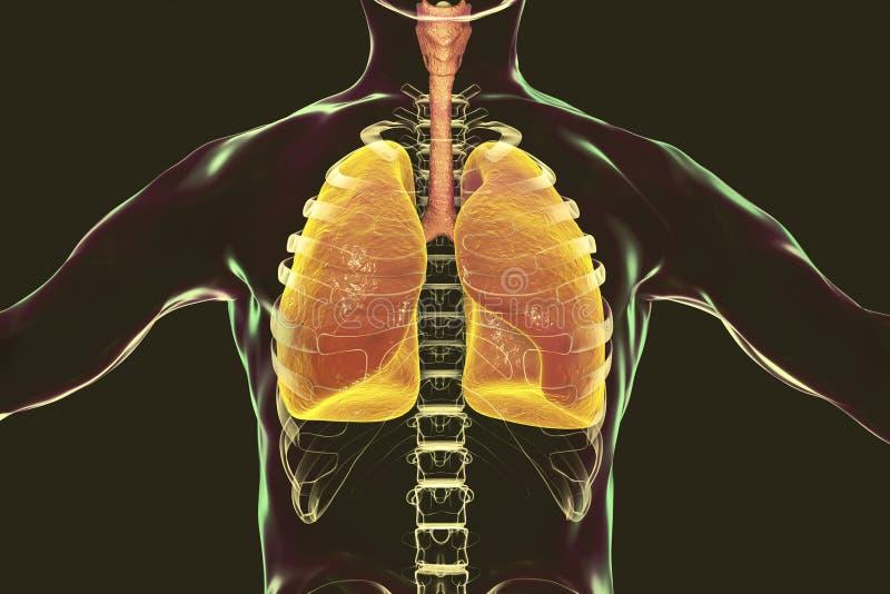 Menselijk ademhalingssysteem, longen, trachee, strottehoofd en mannelijk lichaamssilhouet met skelet vector illustratie