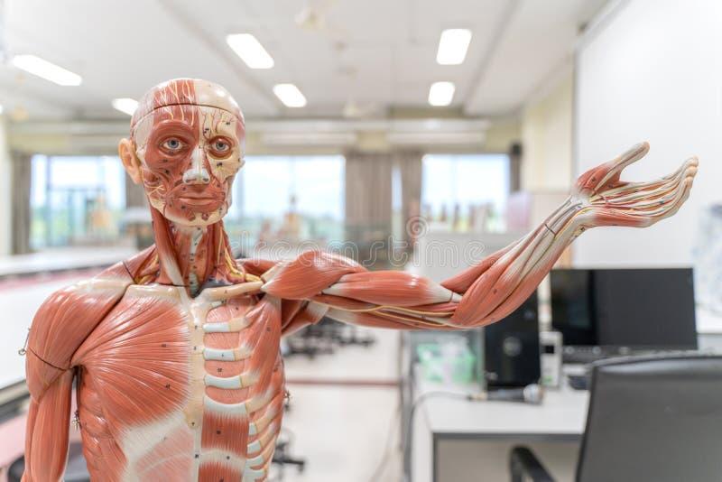 Menselijk anatomie en fysiologiemodel in het laboratorium royalty-vrije stock foto