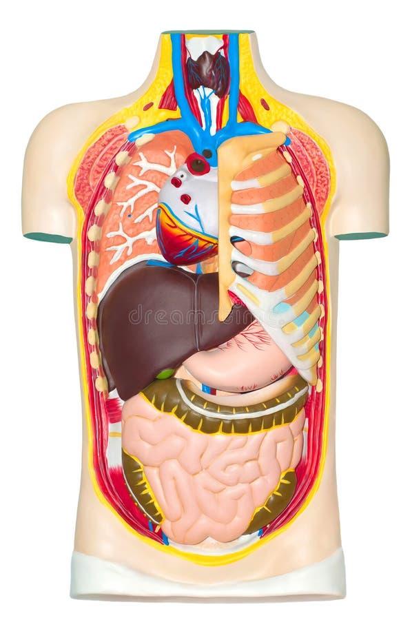 Menselijk anatomiemodel stock foto's