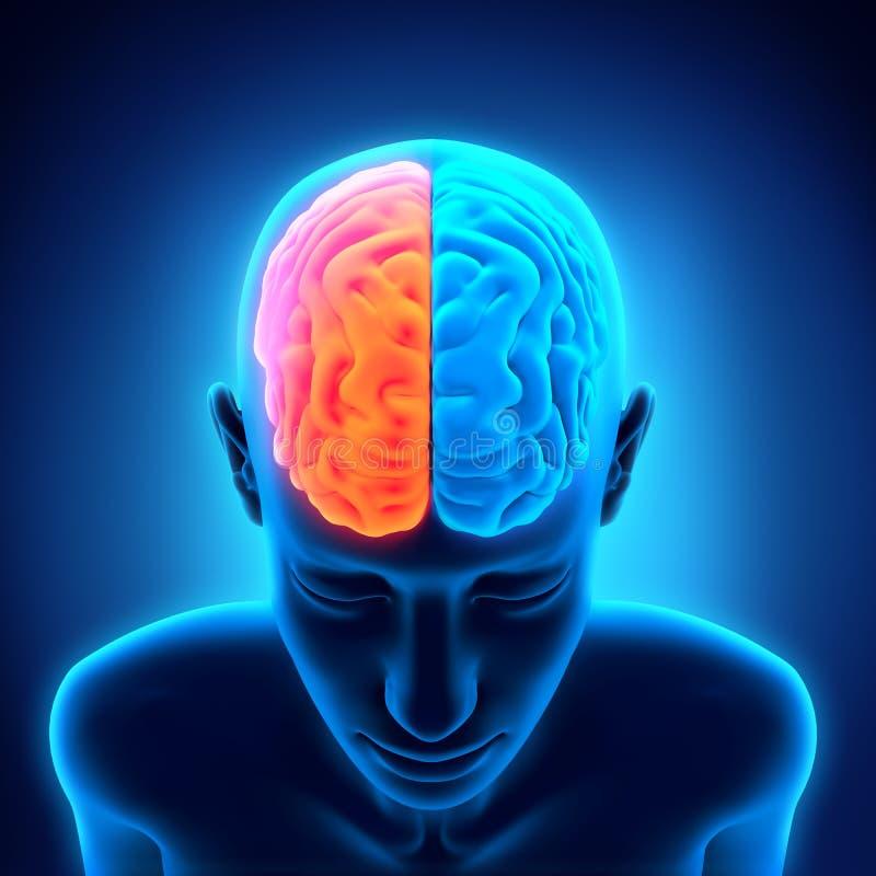Menselijk Brain Anatomy vector illustratie