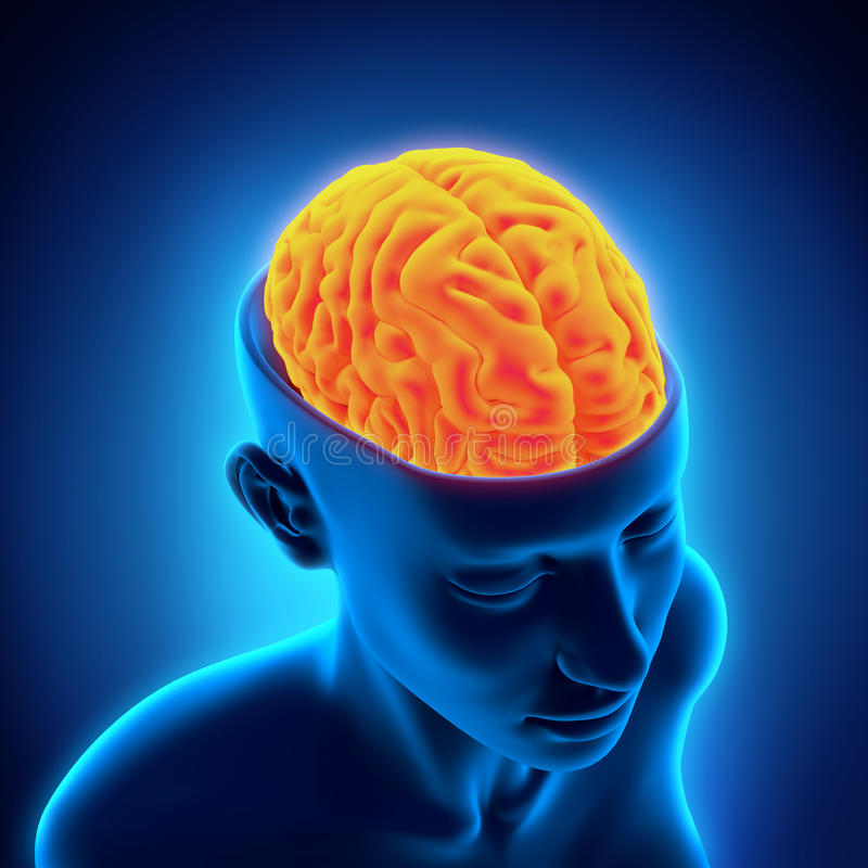 Menselijk Brain Anatomy stock illustratie