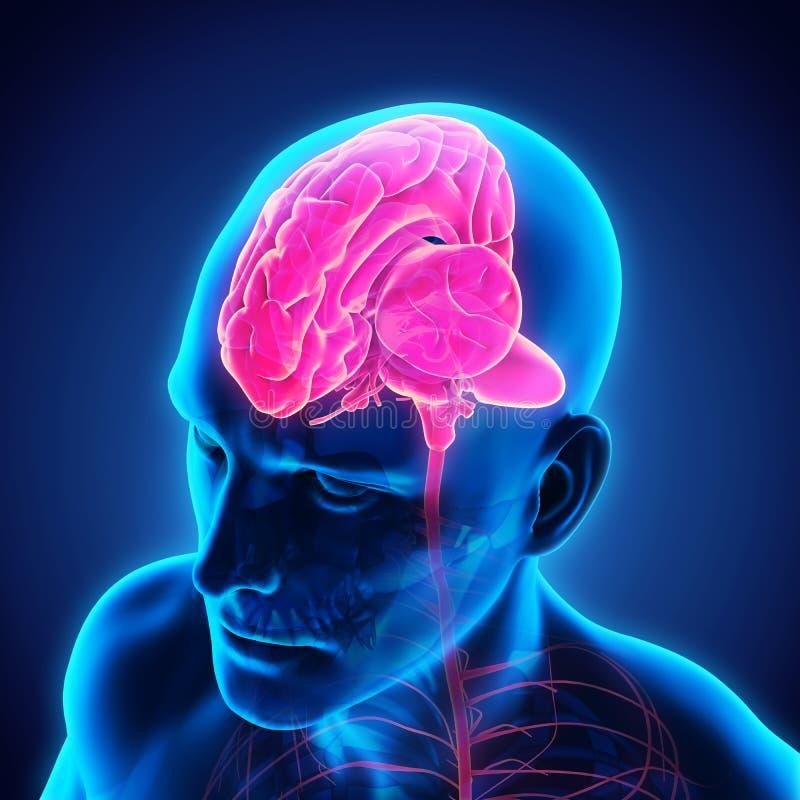 Menselijk Brain Anatomy royalty-vrije illustratie