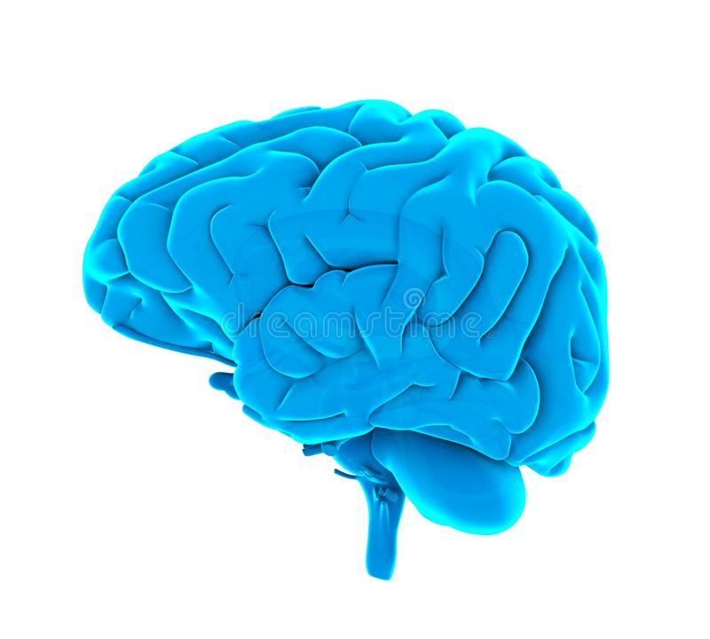 Menselijk Brain Anatomy Isolated royalty-vrije illustratie