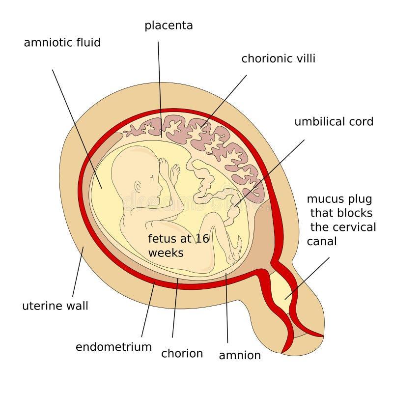 Menselijk foetus vector illustratie