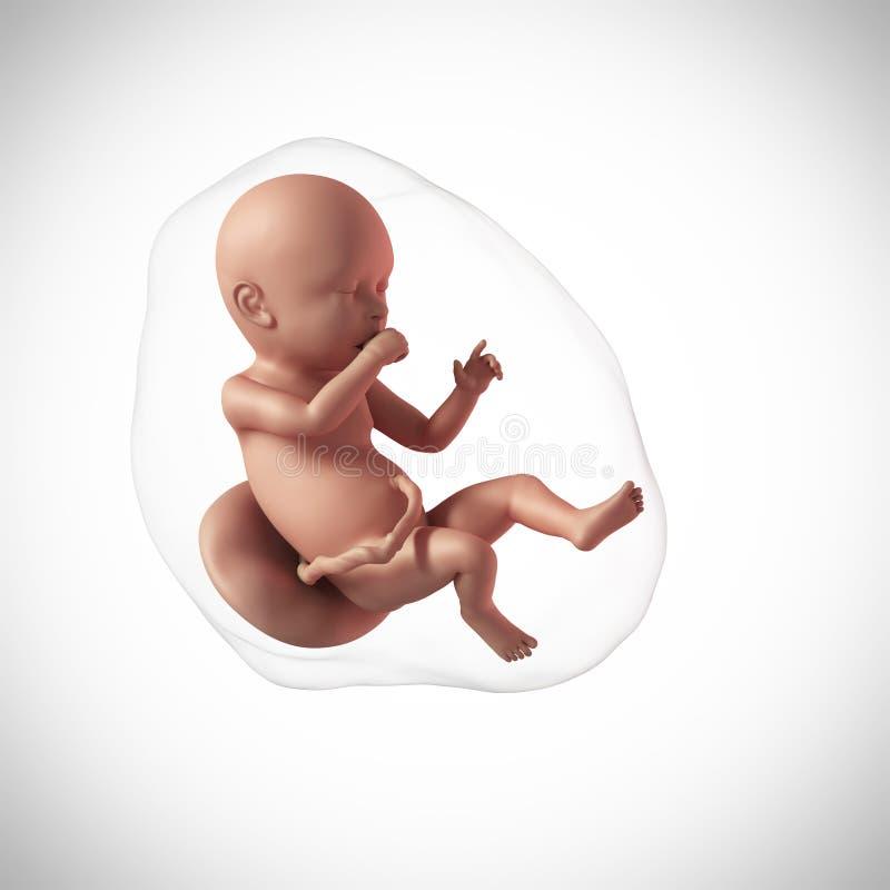 Menselijk foetus - week 40 stock illustratie