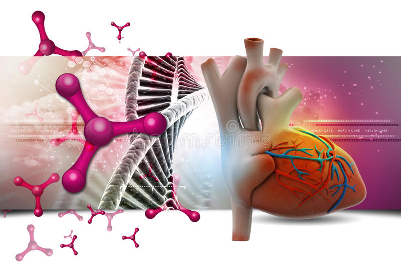Menselijk hart stock illustratie