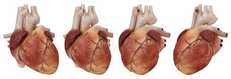 Menselijk hart en kransslagaders royalty-vrije illustratie