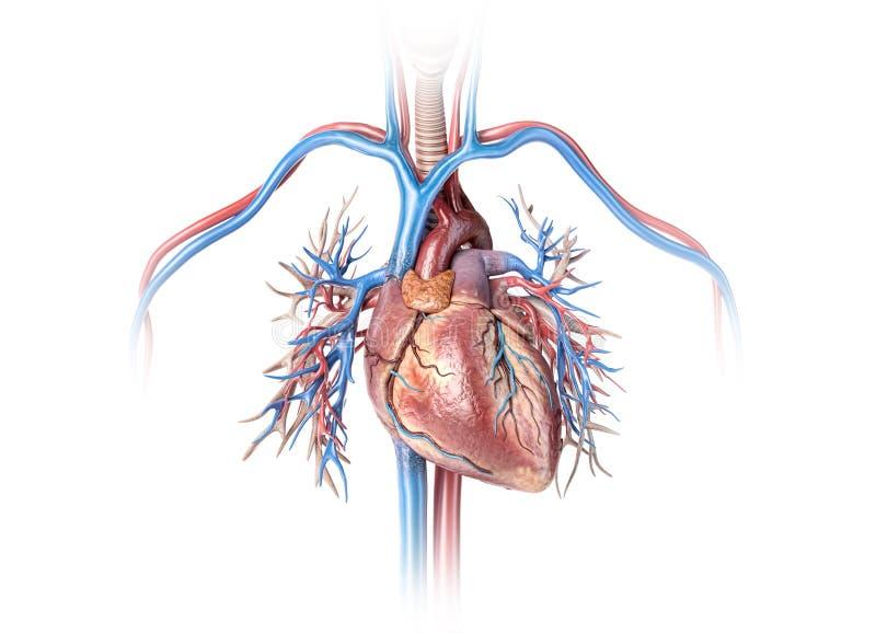 Menselijk hart met schepen en bronchiale boom royalty-vrije illustratie
