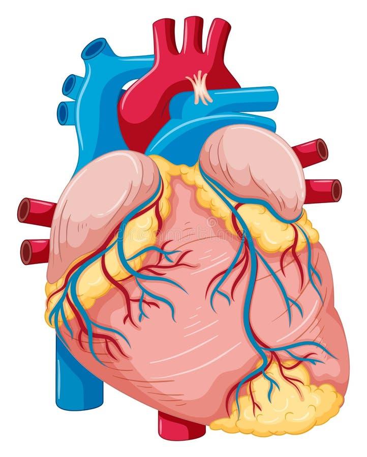 Menselijk hart met vet en bloed royalty-vrije illustratie