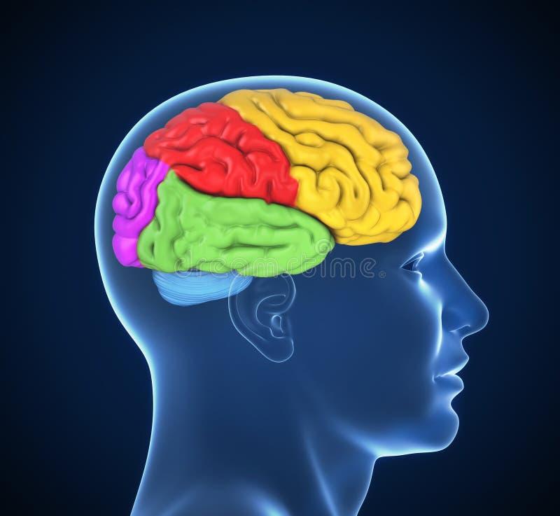 Menselijk hersenen 3d concept op wit stock illustratie