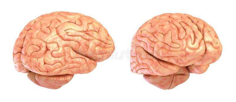 Menselijk hersenen 3D model, royalty-vrije illustratie