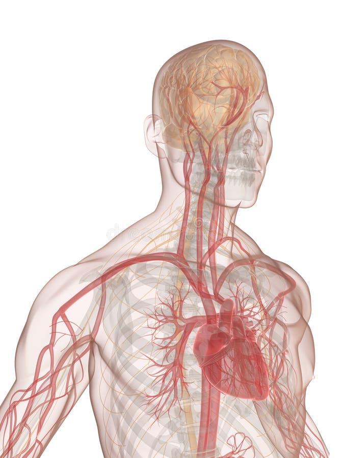 Menselijk hersenen en hart stock illustratie