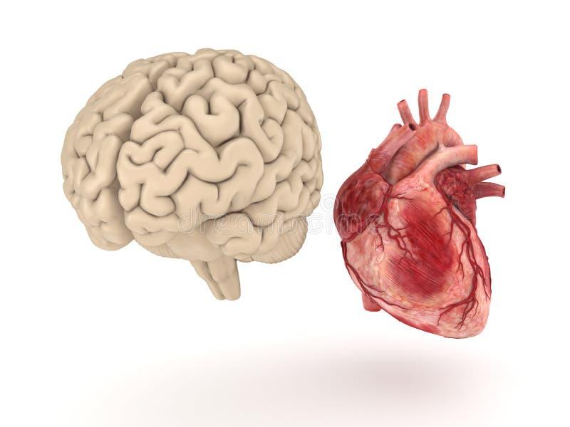 Menselijk hersenen en hart op witte achtergrond royalty-vrije illustratie