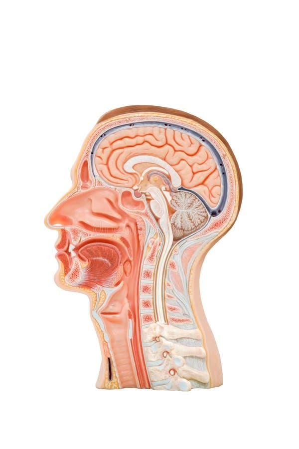 Menselijk hoofdanatomiemodel stock foto's
