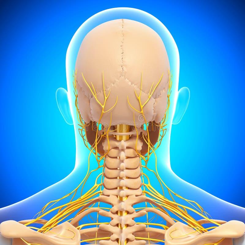 Menselijk hoofdskelet en zenuwstelsel royalty-vrije illustratie