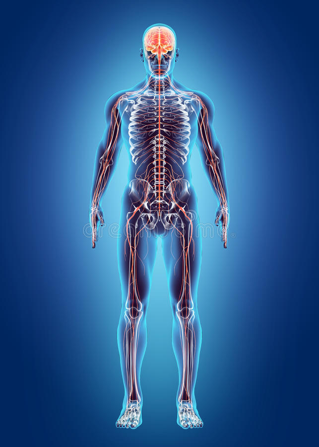 Menselijk Intern Systeem - zenuwstelsel vector illustratie