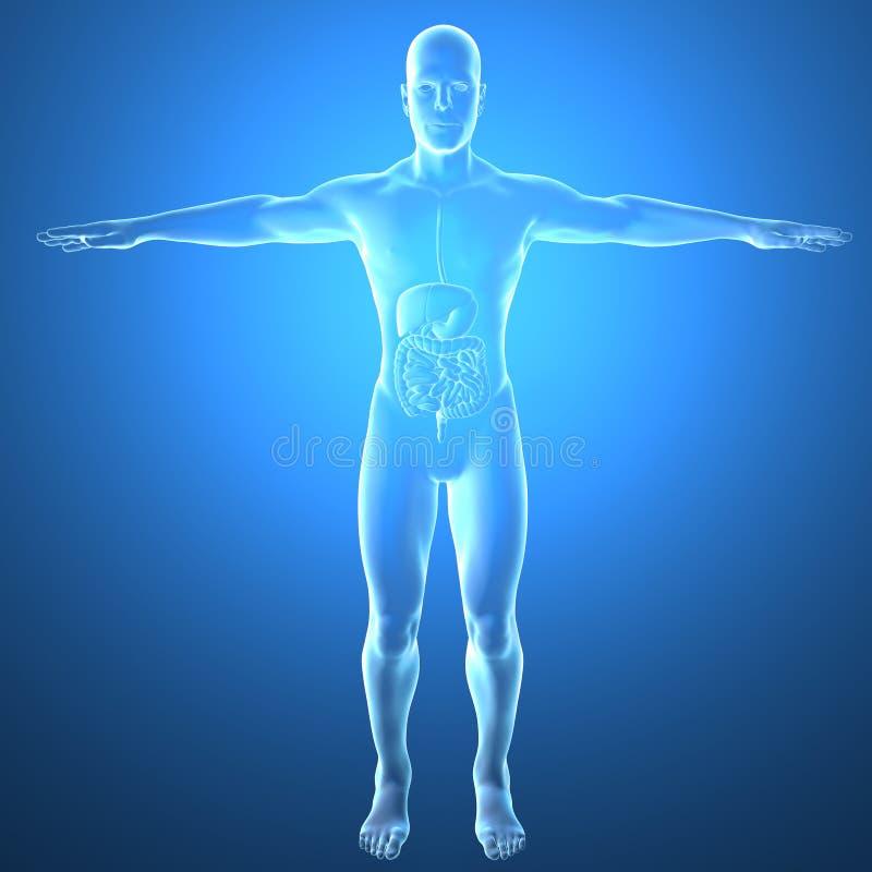 Menselijk lichaam door Röntgenstralen, spijsverteringssysteem stock illustratie