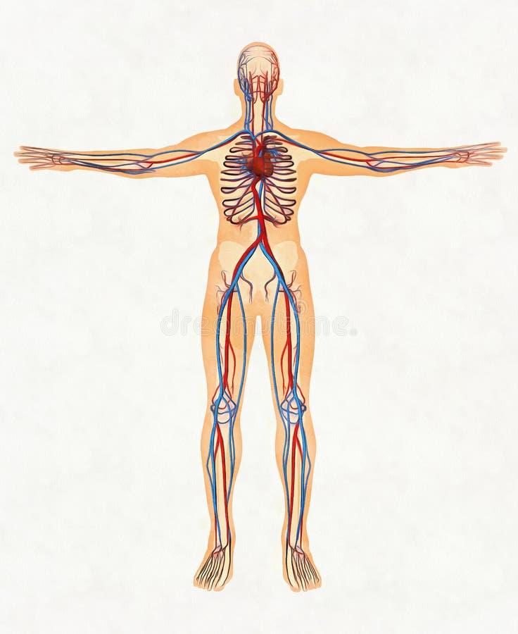 Menselijk lichaam en het vaatstelsel royalty-vrije stock foto